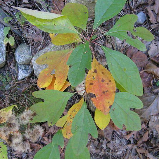 Sassafras Tree Where to Get It | eNature: FieldGuides: Species Detail