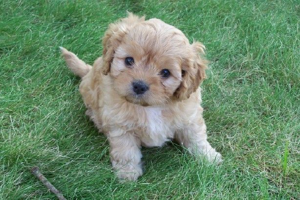 Google Image Result For Http Media Picfor Me 0011e792e Cavoodle Jpg Cavapoo Dogs Cute Puppies Puppies