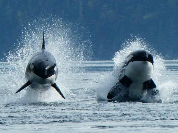 Wow! Breaching Orcas, that would be an amazing thing to see!