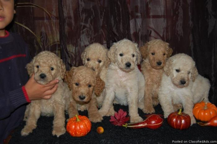 F2 Goldendoodle Puppies Price 500 00 For Sale In Alliance
