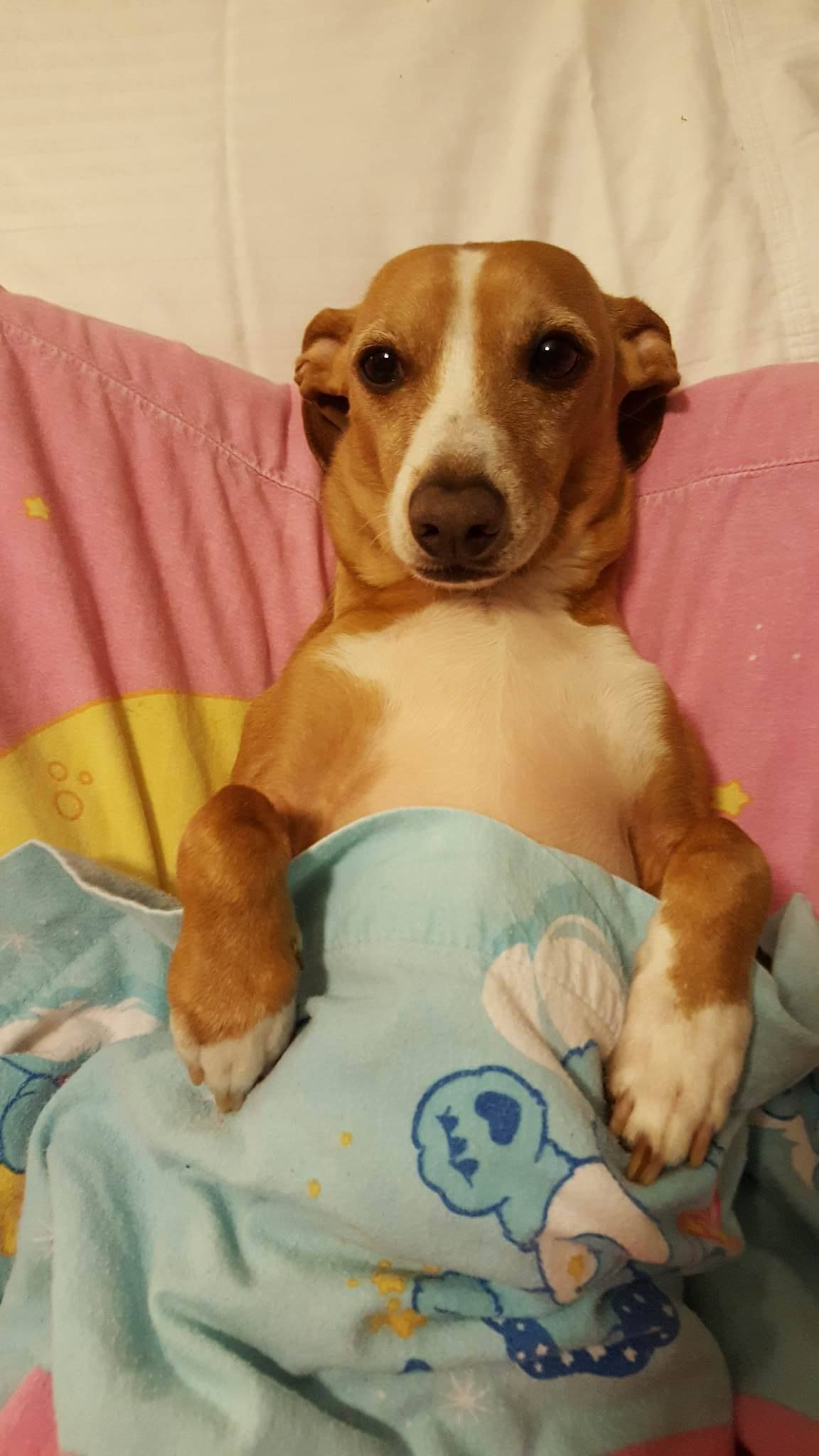 Jack Russell Dachshund Mix Funny Dog Pictures Dachshund Mix