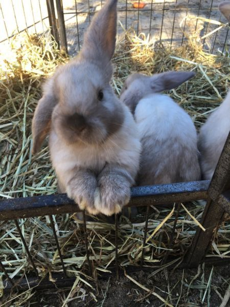 Baby Dwarf Lop Rabbits Ex Petting Zoo Very Friendly Rabbits Gumtree Australia Kwinana Area Casuarina 1118903742 Pets Zoo Animals Zoo