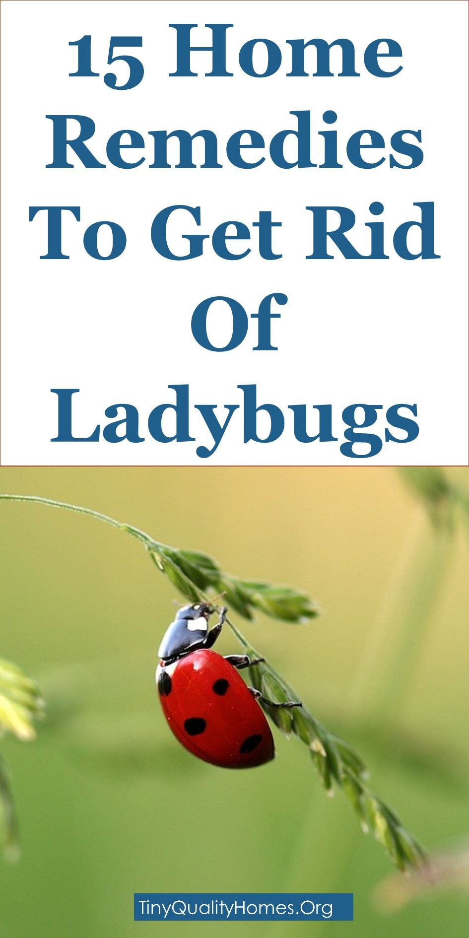 15 Home Remedies To Get Rid Of Ladybugs Asian Lady Beetles This Guide Shares Insights On The Following Ladybug Trap Dawn Lady Beetle Ladybug House Ladybug