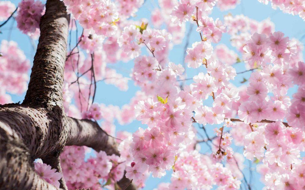 Sakura Japan Guide To Enjoy The Cherry Blossom Festival Spring 2020 In 2020 Blossom Trees Cherry Blossom Tree Japan Cherry Blossom Festival
