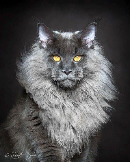 626aca6e0 A beleza mística da raça de gatos Maine Coon | Gatos gigantes | Katzen,  Main coon katze e Katzen rassen