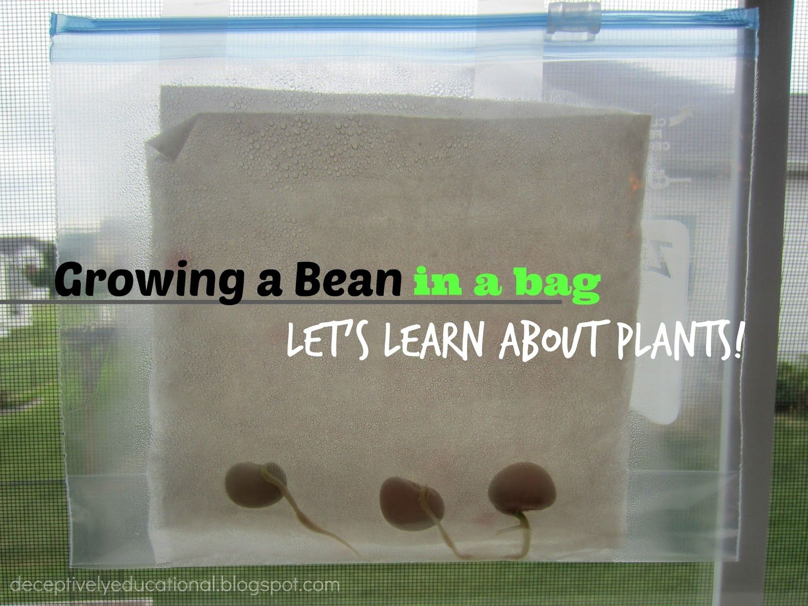 Growing A Bean In A Bag