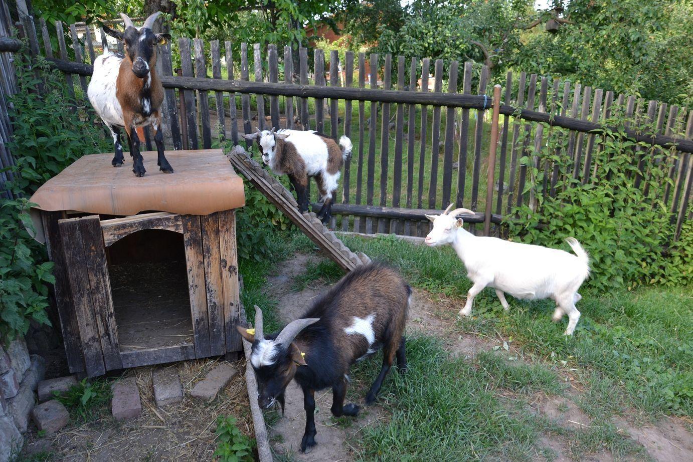 Ziegen Im Garten Halten Auf Einem Budget Von Tieranzeigen Zwergziegen Kleinanzeigen In Bezug Auf Ziegen Im Garten Halten Zwergziegen Tiere Ziege