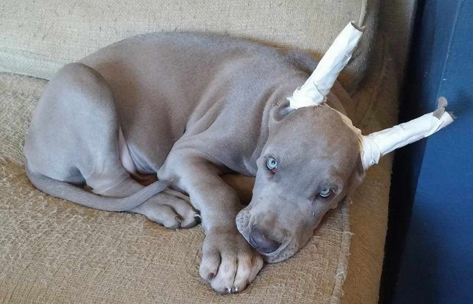 Chocolate great dane puppies for sale