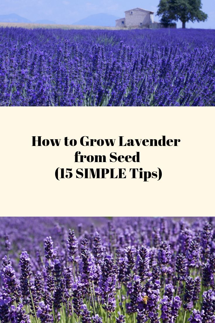 How to grow lavender from seed 15 simple tips growing