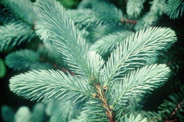 Tree Varieties Types Of Christmas Trees Christmas Tree Varieties National Christmas Tree