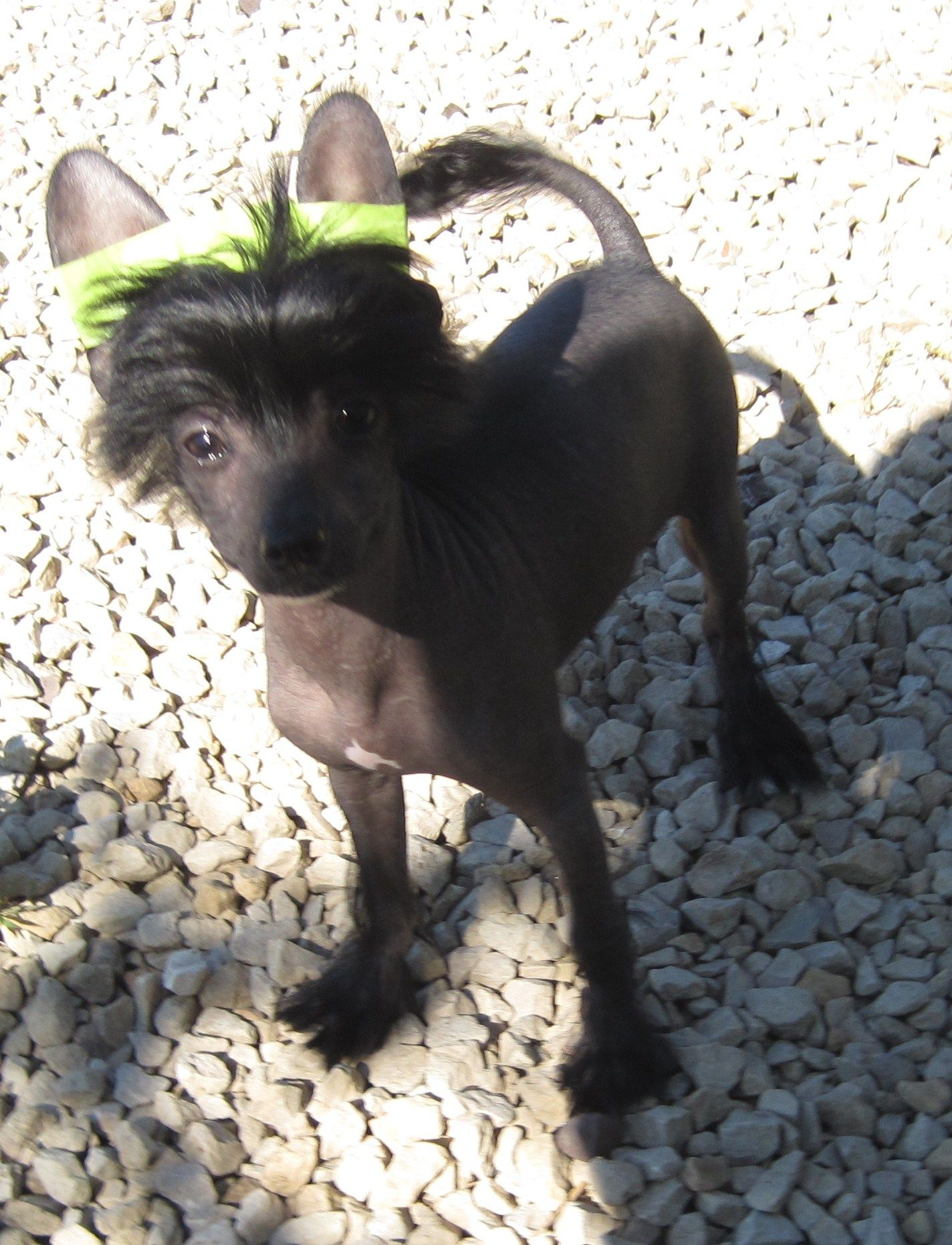 True Hairless Crested 3 Months Old Soon To Be A Spoiled Show Dog