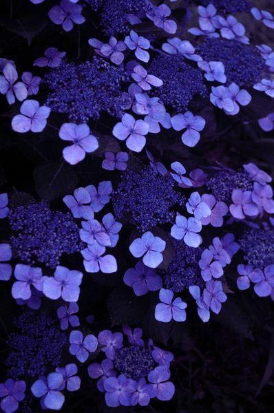 Blue Purple Blue Hydrangea Plant Blue Hydrangea Wedding Flowers Blue Hydrangea