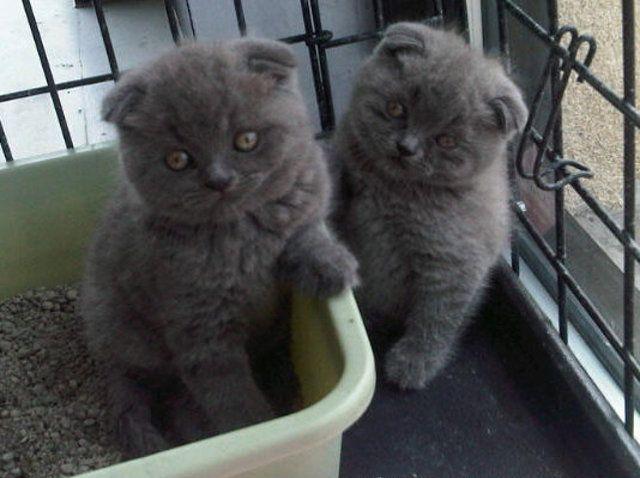 Scottish Fold Kittens For Sale Westchester Future Pets Scottish Fold Kittens Scottish Fold Cat Scottish Fold