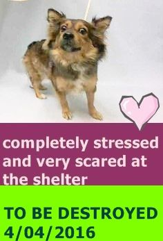 SAFE 4-4-2016 by Pound Hounds Res-Q --- Manhattan Center CINNAMON – A1068279  FEMALE, TAN / BROWN, SHETLD SHEEPDOG MIX, 1 yr STRAY – ONHOLDHERE, HOLD FOR ID Reason PETS CONFL Intake condition EXAM REQ Intake Date 03/22/2016 http://nycdogs.urgentpodr.org/cinnamon-a1068279/