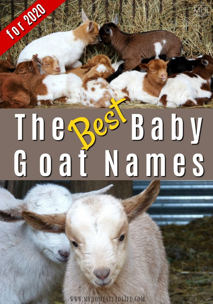 BEST Baby Goat Names for 2020! Baby goats, Goats, Cute goats
