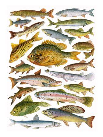 Angielska Szkola Plakaty W Allposters Pl Freshwater Fish Fish Fish Chart