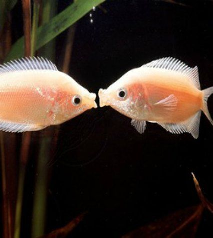 Kissing Gouramis Fresh Water Fish Tank Cool Fish Beautiful Fish