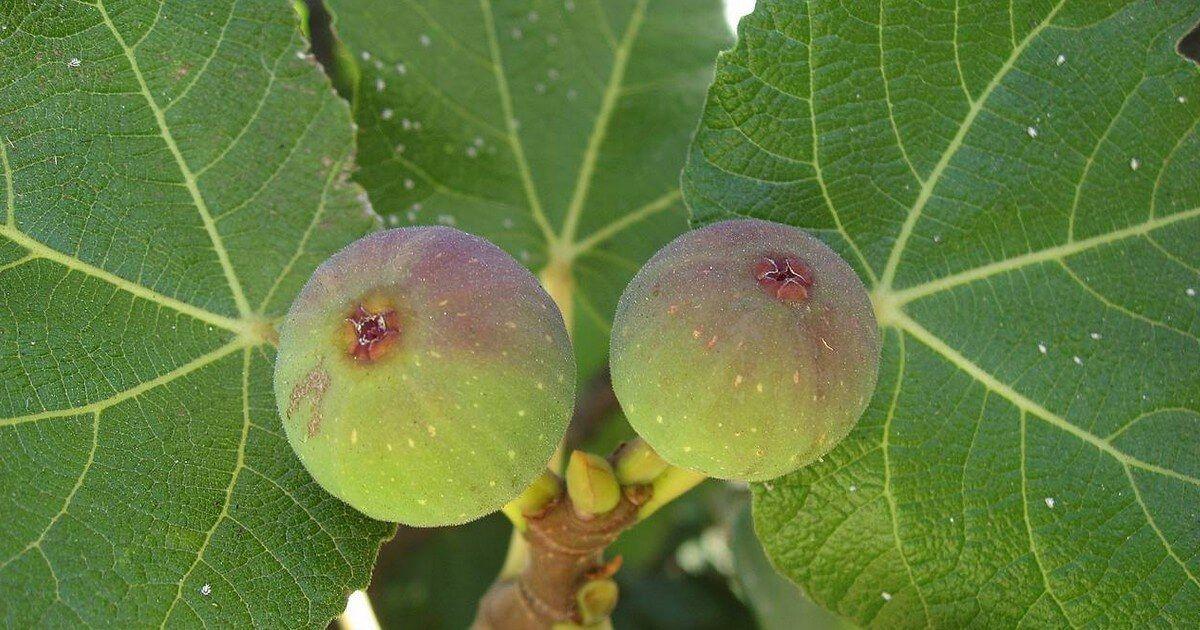 كتاب شجرة التين Agriculture Fruit Mango