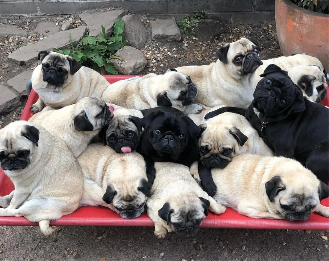 See Our Internet Site For More Details On Funny Pugs It Is