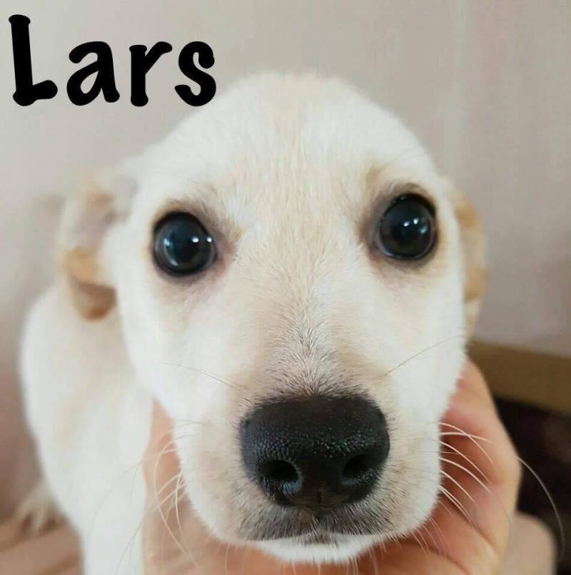 Adopt Lars On Adoption Spitz Dogs