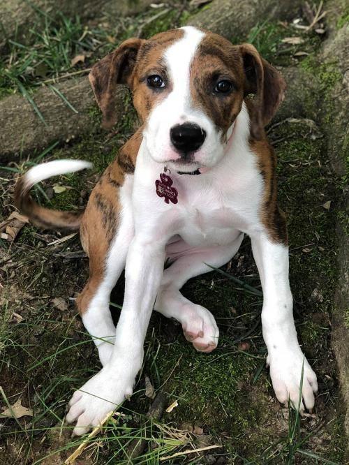 Adopt Latte on Labrador retriever, Dogs, Pet adoption