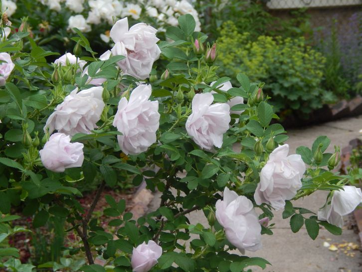 Snow Pavement Rose Zone 4 Garden Colorful Garden