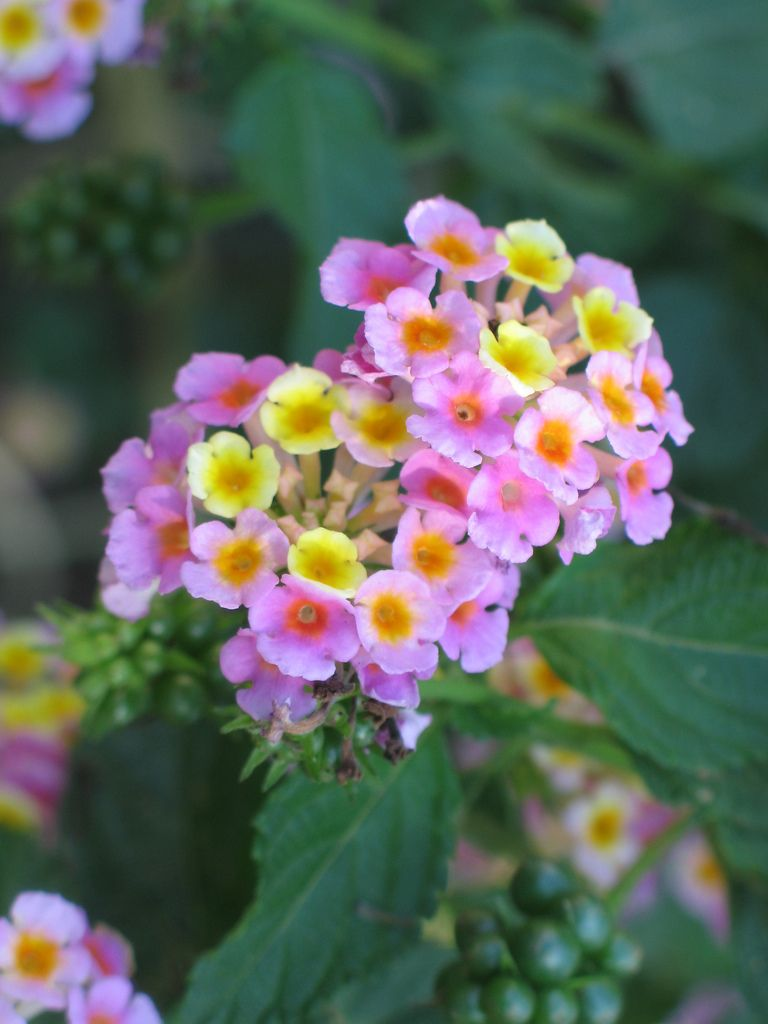 How To Grow Lantana Information On Growing Lantana Lantana Plant Lantana Flower Planting Flowers