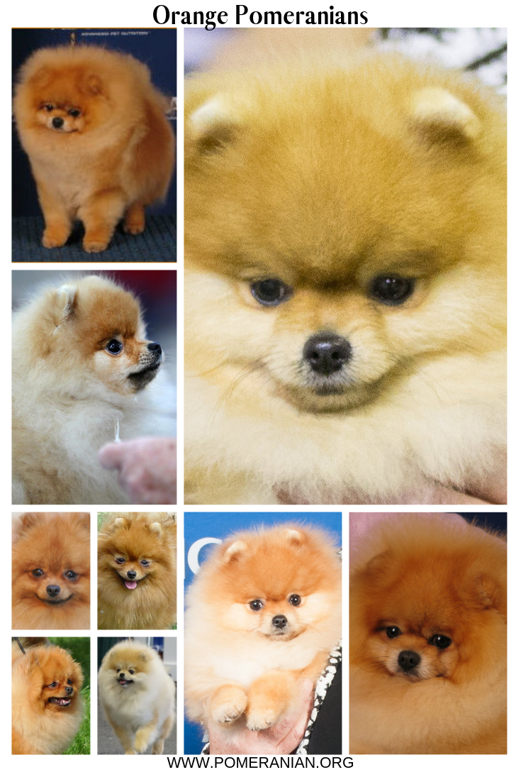 Pomeranian Colors Orange Pomeranians Pomeranian Colors Orange Pomeranians Detailed Information On Differe Pomeranian Colors Pomeranian Facts Pomeranian Dog