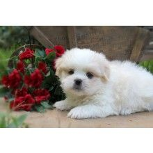 Teddie Bear Luuurve With Images Puppies For Sale Designer