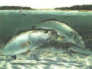 Speckled Sea Trout Underwater Fish Fish Art Fish