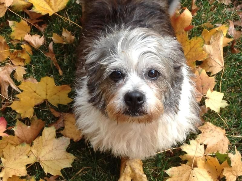Adopt Shea On Pets Beautiful Dogs Shih Tzu