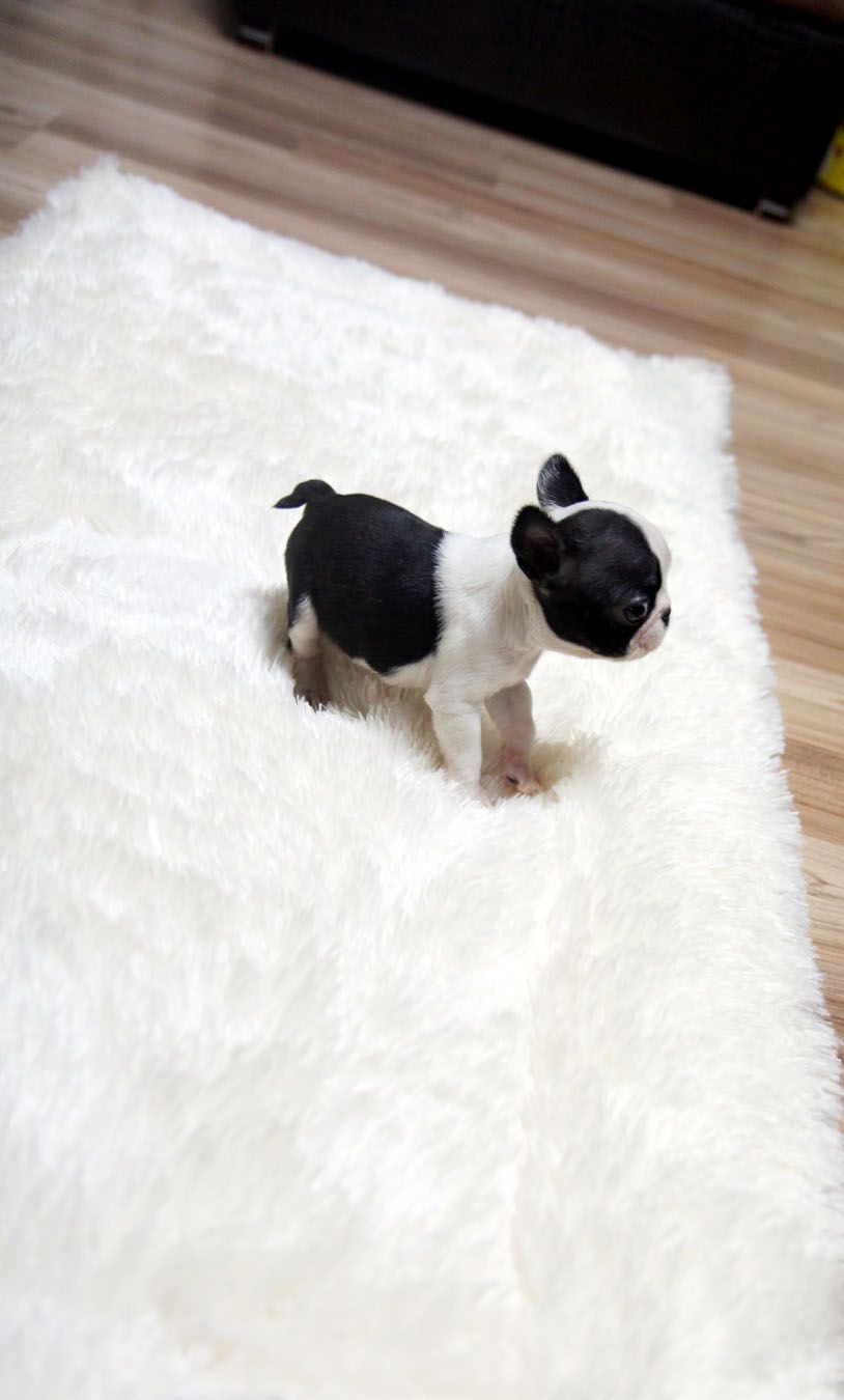 Teacup Puppy For Sale French Bulldog Bianco French Bulldog