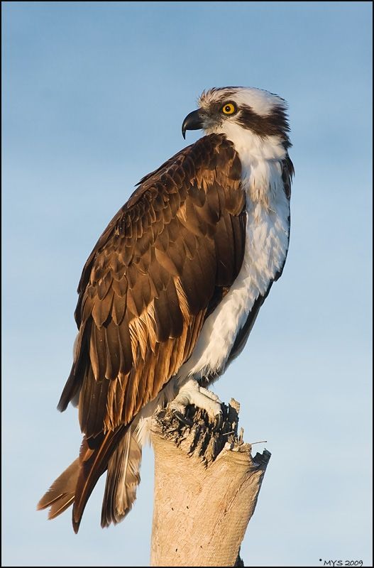 Osprey (Pandion haliaetus) One of the most widespread ...