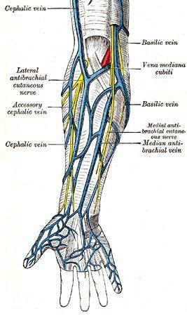 Arm veins | Anatomía | Pinterest | Enfermería y Anatomía