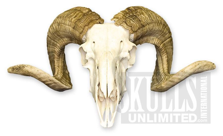 Ram skull | Game Art | Pinterest | Ram skull and Game art