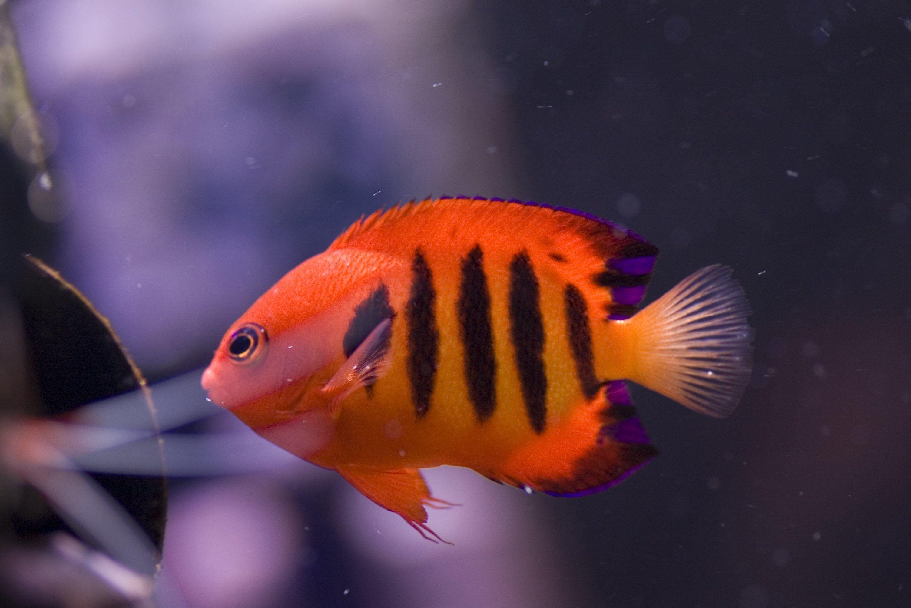 Pin by April Philpot on Aquariums & Fish | Pinterest | Angelfish ...