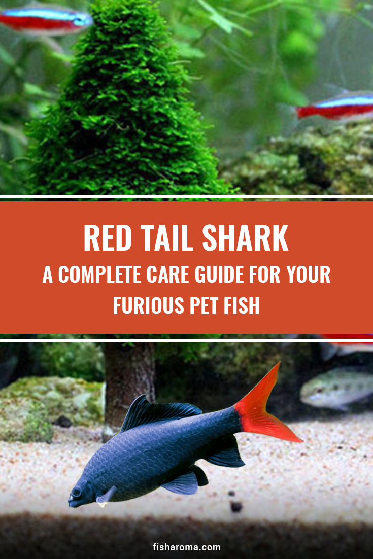 An All Inclusive Care Guide Of Red Tail Shark The Freshwater Species Tropical Freshwater Fish Shark Fishing Pet Fish