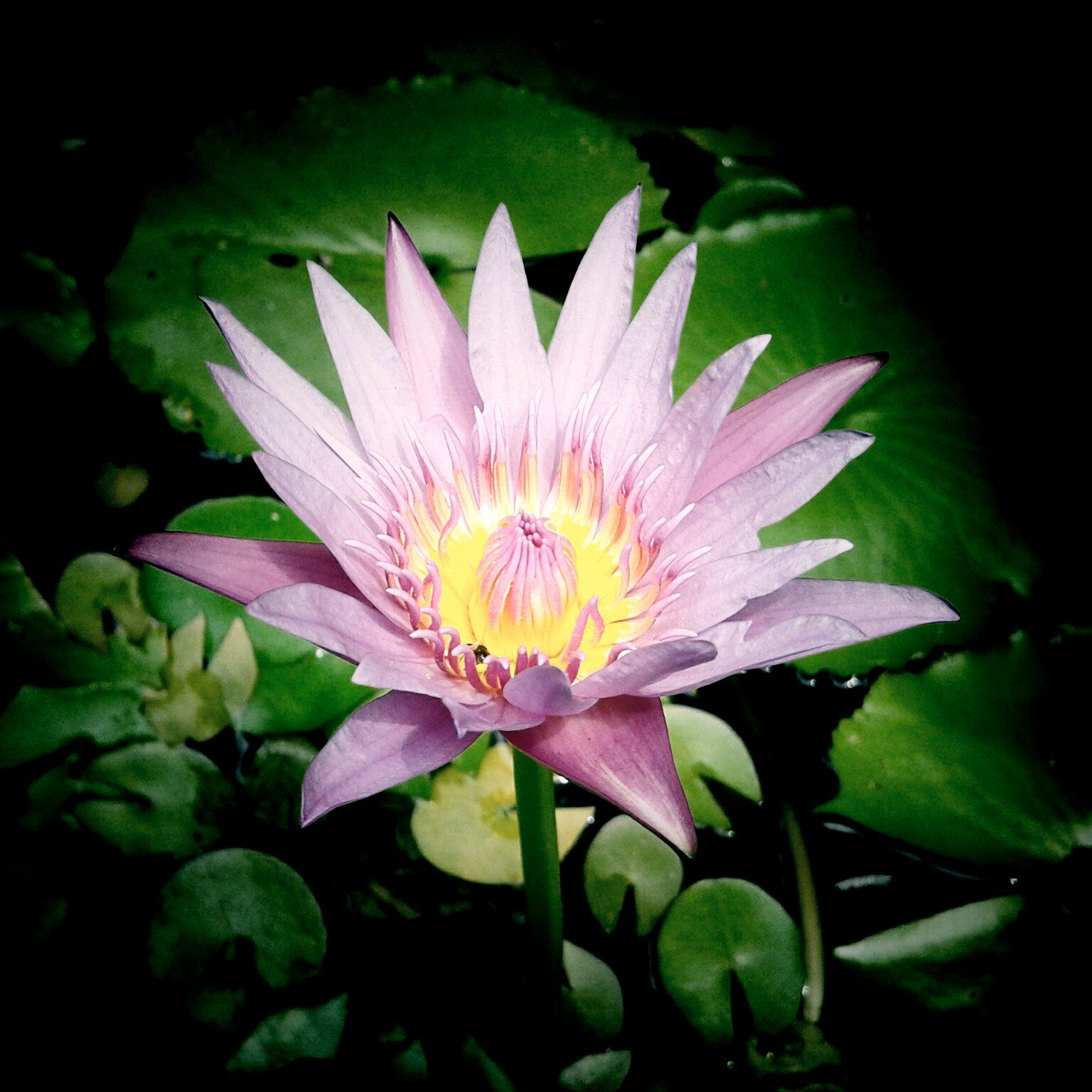 A beautiful water lily in Bogor Botanic Garden Botanical