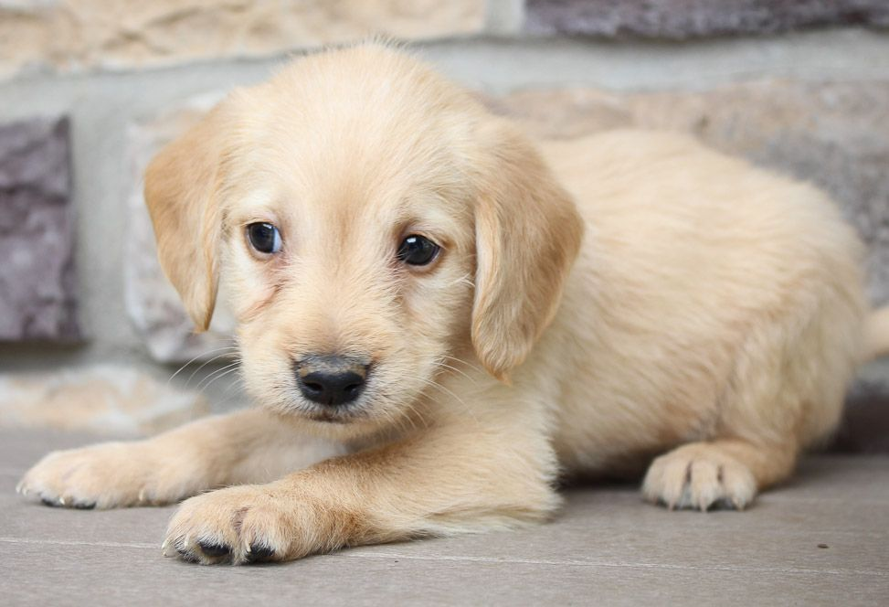 Lucky Labradoodle Puppies For Sale Near Me New Haven Indiana