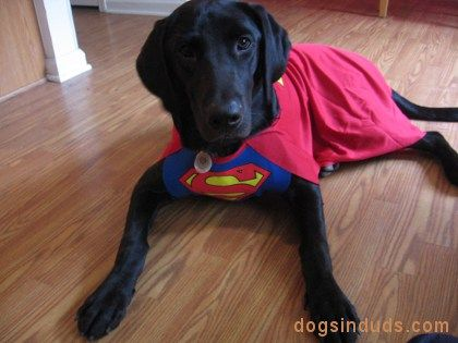 Labs Its A Lab Thing Www Itsalabthing Com Dog Halloween