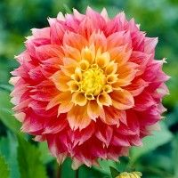 Semi-Dinnerplate Dahlia Kogana Fubuki - This masterpiece hybrid blooms in shades of pink and yellow, with a high petal count that give it great substance. Amazing in the garden, amazing in a vase.