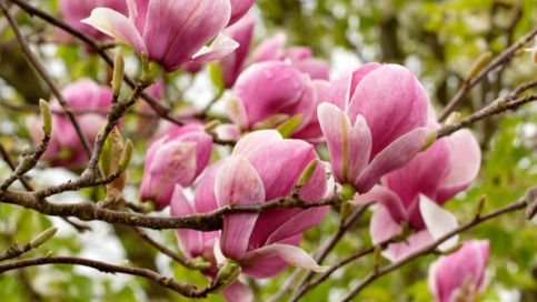 Large tree with pink flowers garden inspiration large pink flowering tree image collections flower decoration ideas mightylinksfo