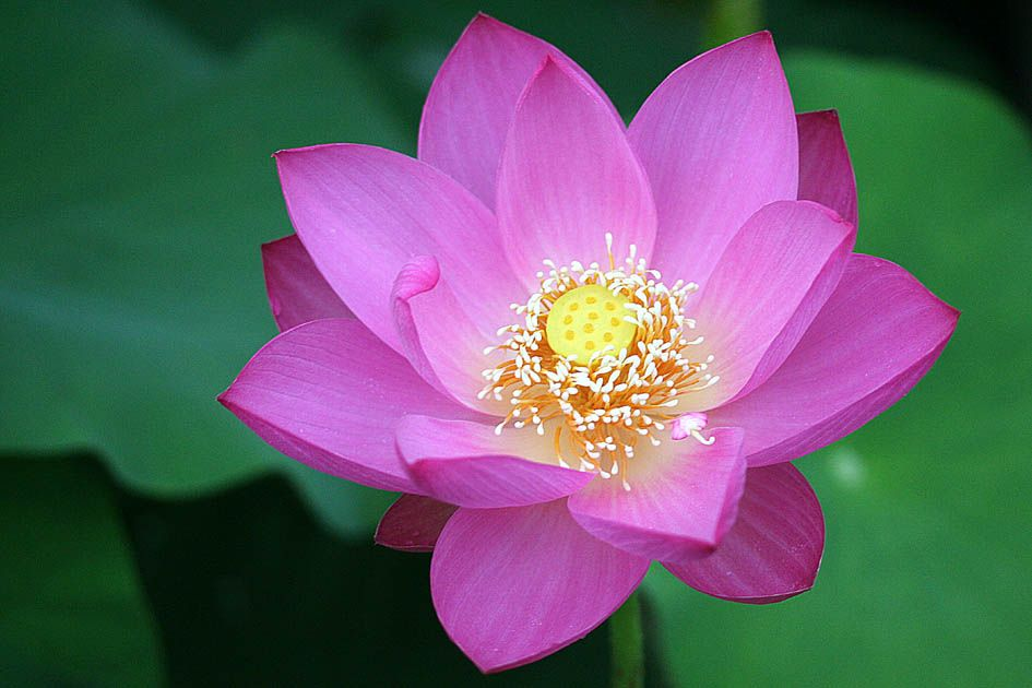 sacred lotus nelumbo nucifera cultural significance and