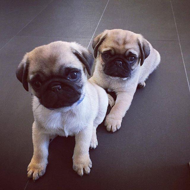 Love Puggies Baby Pugs Pugs Pet Dogs Puppies