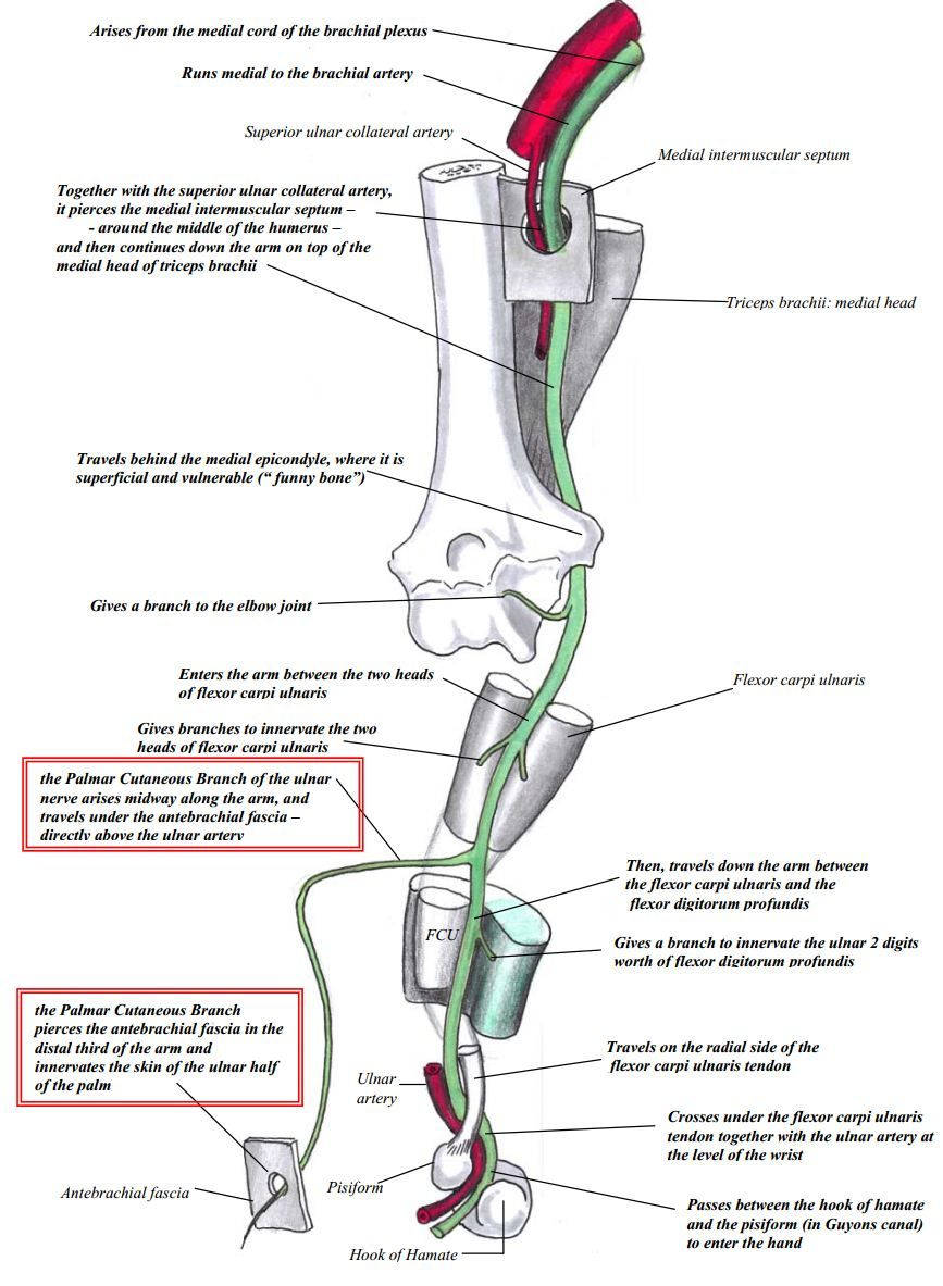 course of ulnar nerve made easy - Google Search | ANATOMY ...