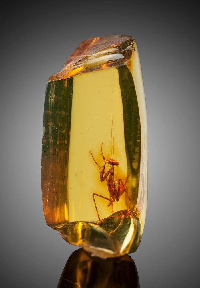 Praying Mantis Perfectly Preserved In Amber Was Between 2334 Million Years Old