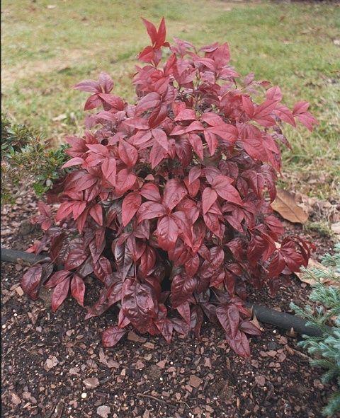 Nana nandina small evergreen shrub vivid green foliage for Small flowering shrubs for full sun