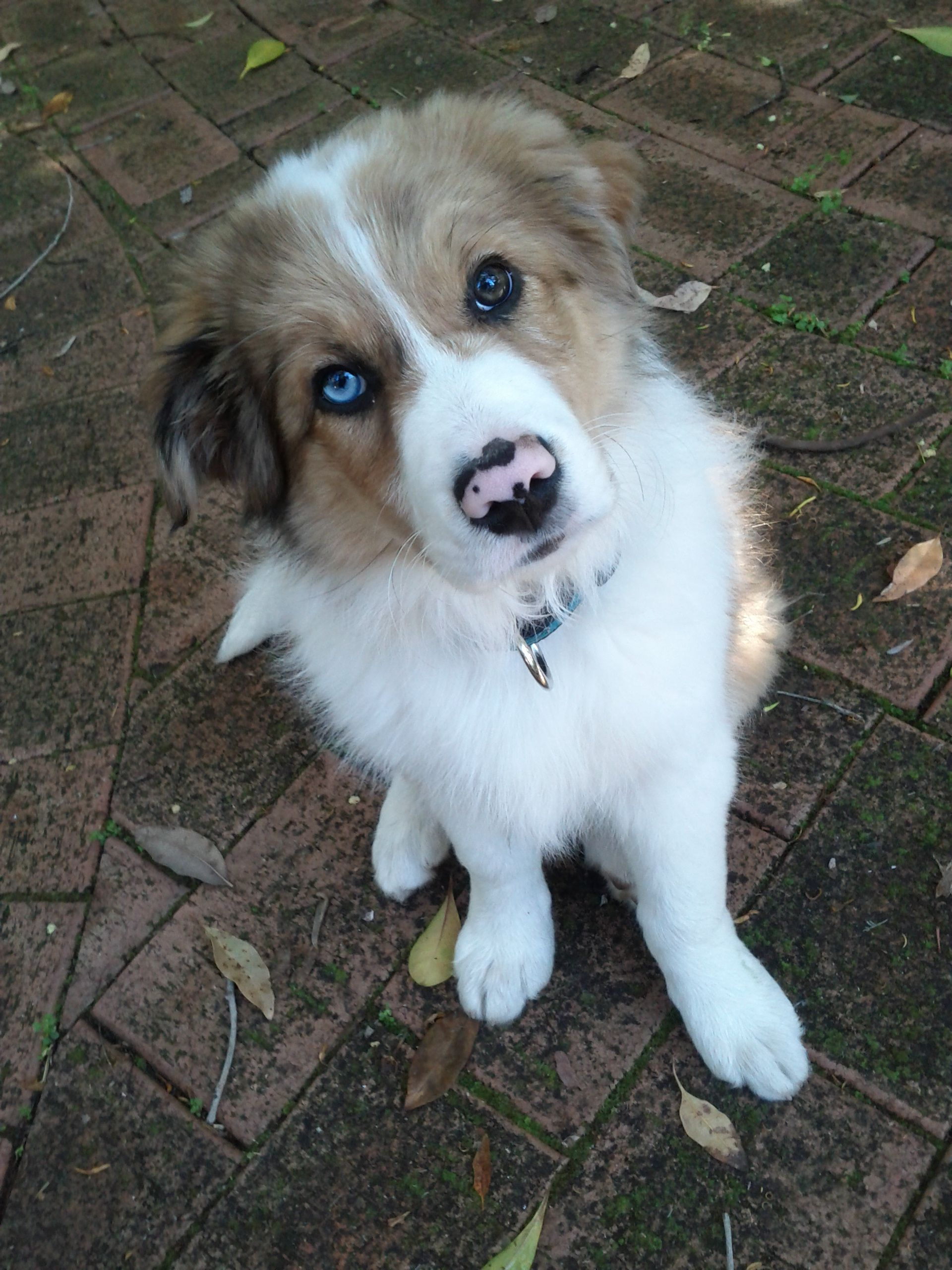 Chocolate Merle Border Collie With Images Border Collie Merle Border Collie Dogs