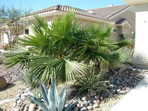 5 Winterharte Palmen Fur Nachhaltiges Gartengrun Fresh Ideen Fur Das Interieur Dekoration Und Landschaft Winterharte Palmen Palmen Garten Palmen Pflanzen