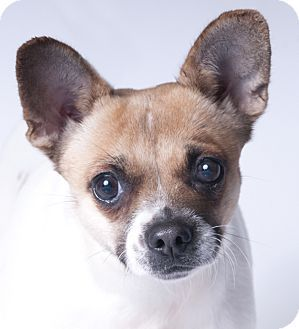 2 20 Special Needs Chihuahua Dog For Adoption In Chicago